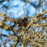 Spotted Towhee, Skagit Valley