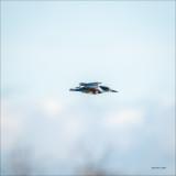 Kingfisher n flight, Skagit Valley