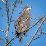 Immature Bald Eagle, Skagit Valley