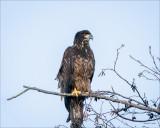 Juvenal Bald Eagle, Skagit County