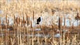 Red-winged blackbird, Skagit County