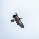 Immature Bald Eagle n Flight, Skagit, County