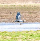Great blue heron n flight, Skagit, County