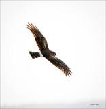 Female harrier in flight, Skagit, County