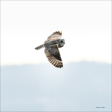 Short-eared owl, Skagit County