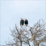 Bald eagles, Skagit, County