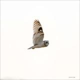Short eared owl, Skagit, County