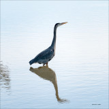 Great blue heronv, Skagit, County