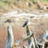 Short eared owl on a perch, Skagit, County
