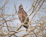 Juvenile Bald Eagle, Skagit County