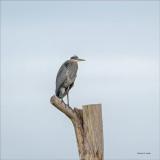 Great blue heron in a tree.jpg
