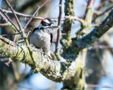 Downy-woodpecker, Skagit County