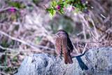 Song-sparrow-portrait
