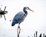 Great blue heron, Skagit County