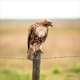 Red tail hawk, Lincoln, County