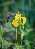 Humming bird & yellow flower, Skagit County