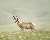Buck Antelope, Montana
