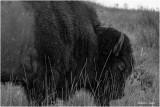 Bison, North West Montana