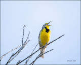 Meadowlark, Western Montana