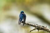 Tree Swallow, Skagit County, WA