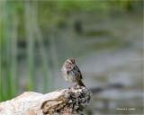Song Sparrow, Skagit County