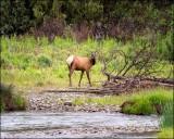 Elk, Missoula, MT.