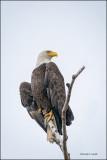 Bald Eagle, Skagit County