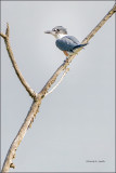 Belted Kingfisher, Skagit County