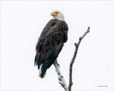 Bald eagle perched, Skagit County