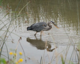 Great blue heron with catch