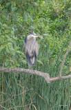 Great blue heron in a tree, Skagit, County