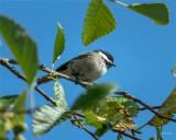 Blackcap-chickadee, Skagit County