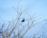 Belted Kingfisher, Skagit Co.