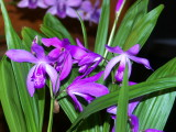 Bletilla striata #1 Outdoor grower
