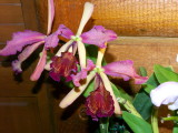 Cattleya dowiana #7 v rosita