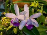 Cattleya intermedia  #3 v orlata