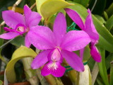 Cattleya mesquitea