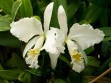 Cattleya mossiae #1 v alba