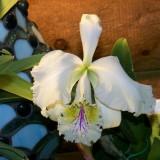 Cattleya mossiae #2 f.reineckiana