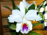 Cattleya mossiae #7 'H & R' v semi-alba