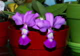 Cattleya walkeriana #3