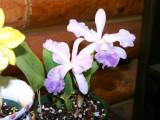 LC Floralia's Azul X C warneri v coerulea