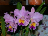 BLC George King 'Serendipity'