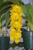 Cycnoches herrenhusanum
