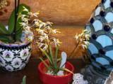 Dendrobium canaliculatum #2