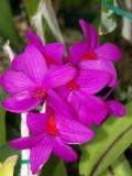 Dendrobium crepidifferum