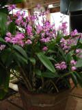 Dendrobium kingianum #1