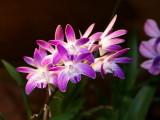 Dendrobium kingianum 'Roy Gill'