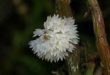 Dendrobium purpureum v alba
