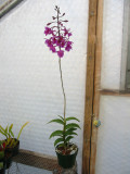 Epi-Bardendrum Nanboh pixy plant